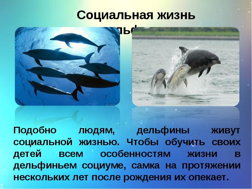 Социальная жизнь дельфинов Подобно людям, дельфины живут социальной жизнью. Ч...