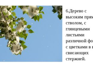6.Дерево с высоким прямым стволом, с глянцевыми листьями различной формы и с
