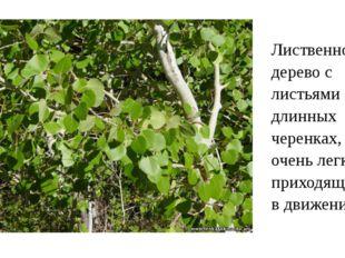 Лиственное дерево с листьями на длинных черенках, очень легко приходящими в д