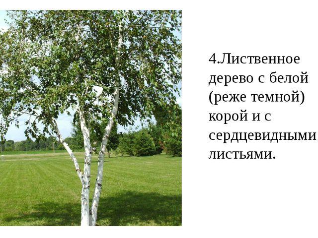 4.Лиственное дерево с белой (реже темной) корой и с сердцевидными листьями.