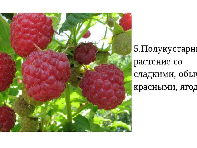 5.Полукустарниковое растение со сладкими, обычно красными, ягодами.