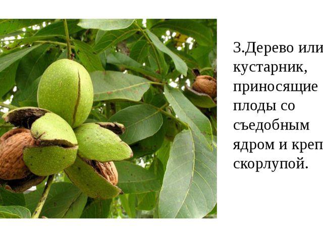 3.Дерево или кустарник, приносящие плоды со съедобным ядром и крепкой скорлуп...