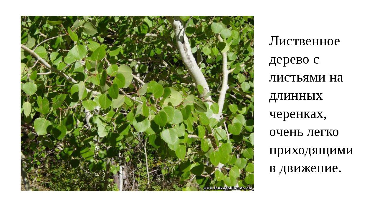 Лиственное дерево с листьями на длинных черенках, очень легко приходящими в д...