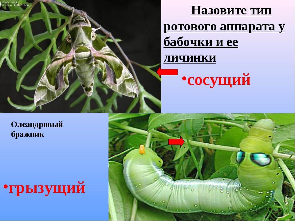 Назовите тип ротового аппарата у бабочки и ее личинки сосущий грызущий Олеан...