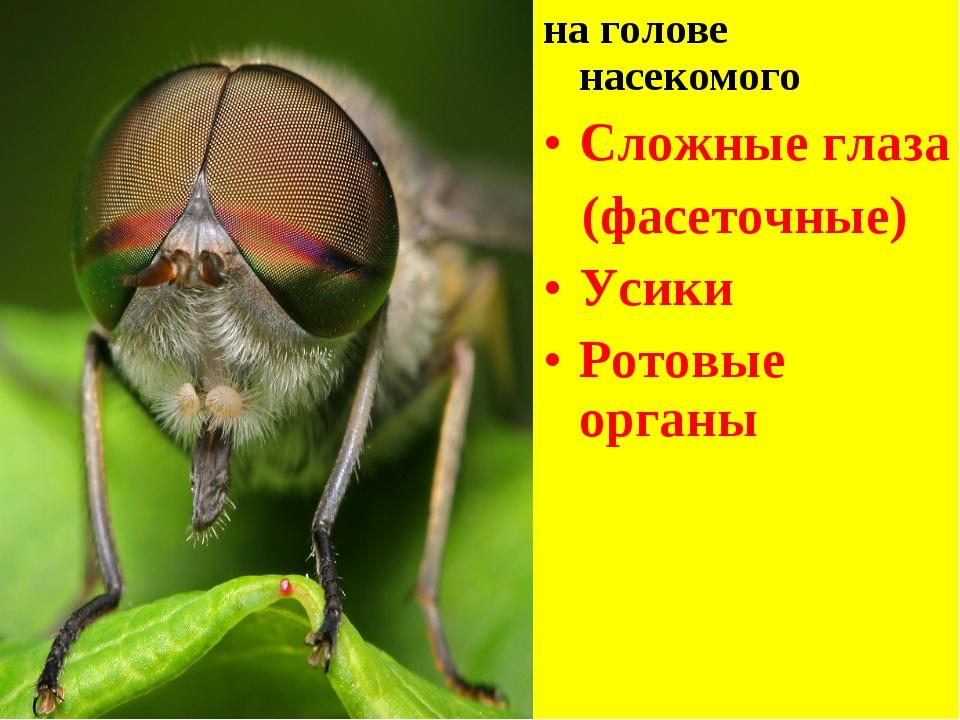 на голове насекомого Сложные глаза (фасеточные) Усики Ротовые органы