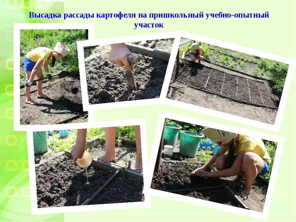 Высадка рассады картофеля на пришкольный учебно-опытный участок