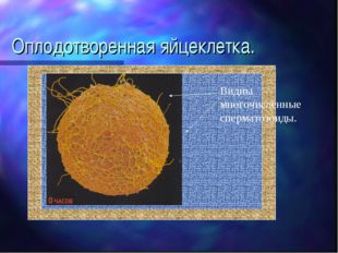 Оплодотворенная яйцеклетка. Видны многочисленные сперматозоиды.