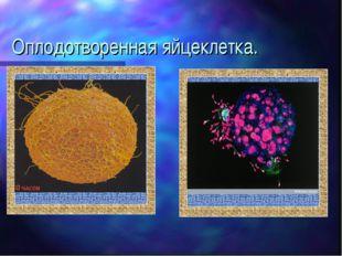 Оплодотворенная яйцеклетка.