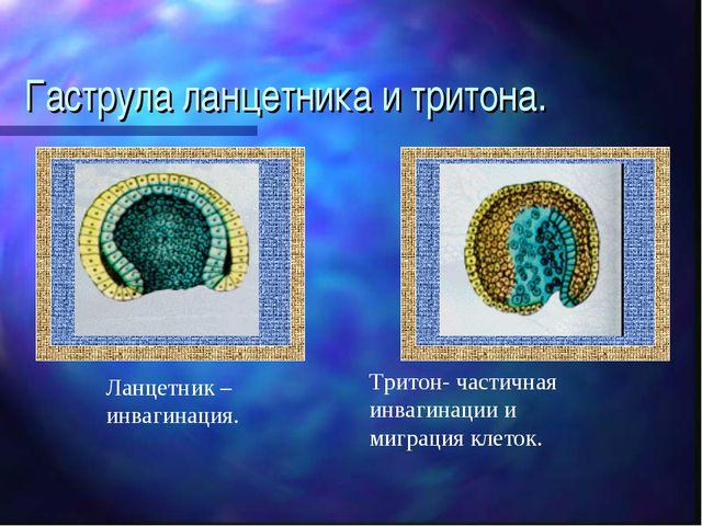 Гаструла ланцетника и тритона. Ланцетник – инвагинация. Тритон- частичная инв...