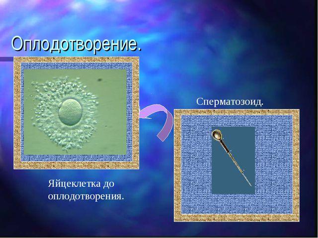 Оплодотворение. Яйцеклетка до оплодотворения. Сперматозоид.