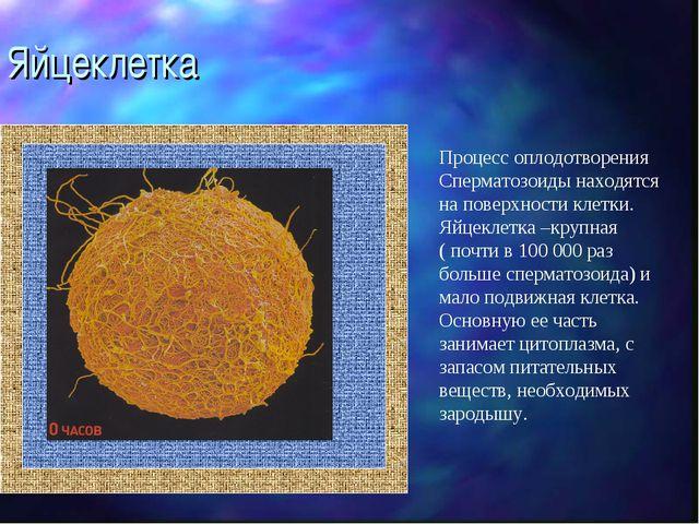 Яйцеклетка Процесс оплодотворения Сперматозоиды находятся на поверхности клет...