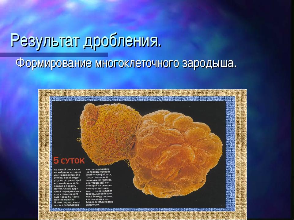 Результат дробления. Формирование многоклеточного зародыша.