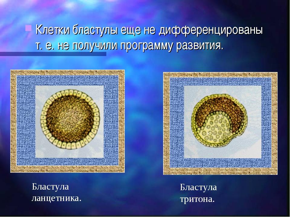 Клетки бластулы еще не дифференцированы т. е. не получили программу развития....