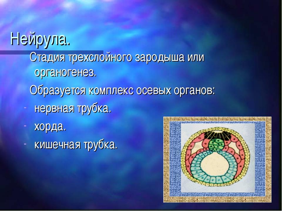 Нейрула. Стадия трехслойного зародыша или органогенез. Образуется комплекс ос...