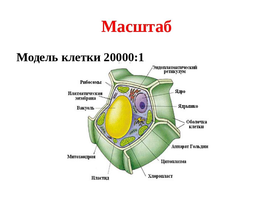 Масштаб Модель клетки 20000:1