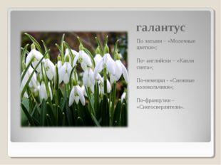 галантус По латыни – «Молочные цветки»; По- английски – «Капли снега»; По-нем