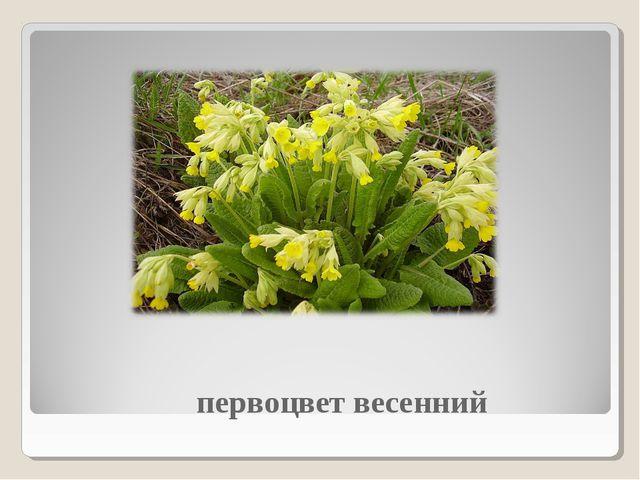 первоцвет весенний