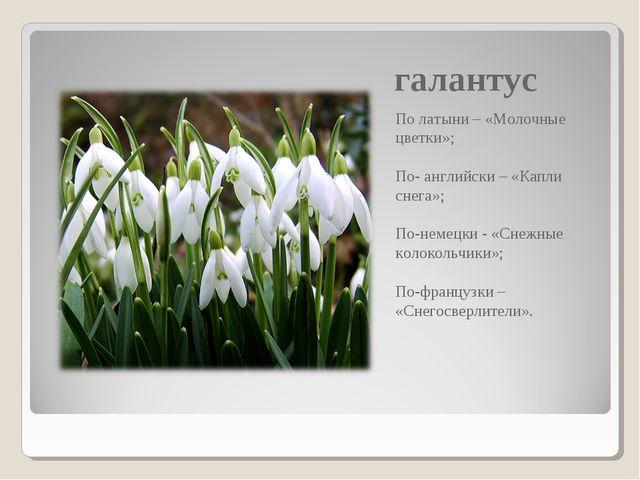 галантус По латыни – «Молочные цветки»; По- английски – «Капли снега»; По-нем...