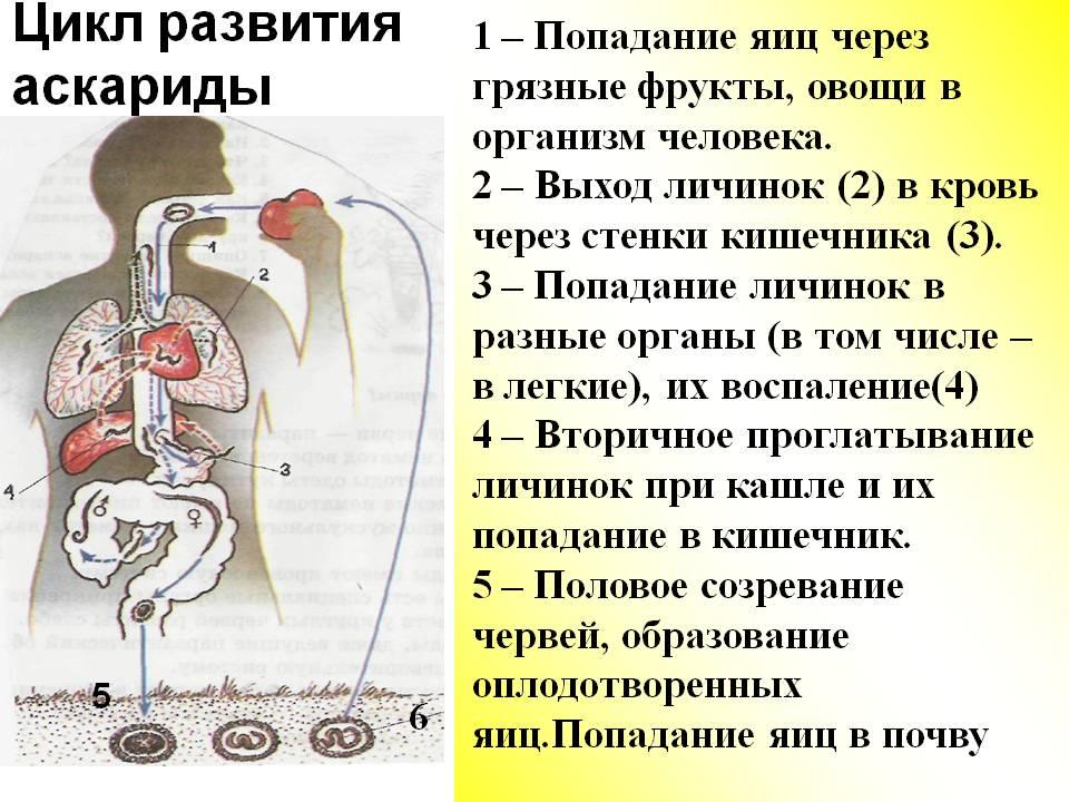 Круглые черви урок - Черви - Картинки по биологии
