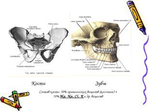 Кости Зубы Состав кости: 30% органических веществ (коллаген) + 70% Mg, Na, Cl