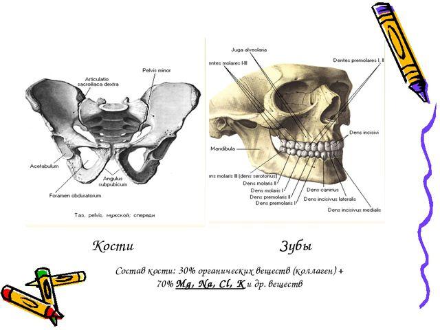 Кости Зубы Состав кости: 30% органических веществ (коллаген) + 70% Mg, Na, Cl...