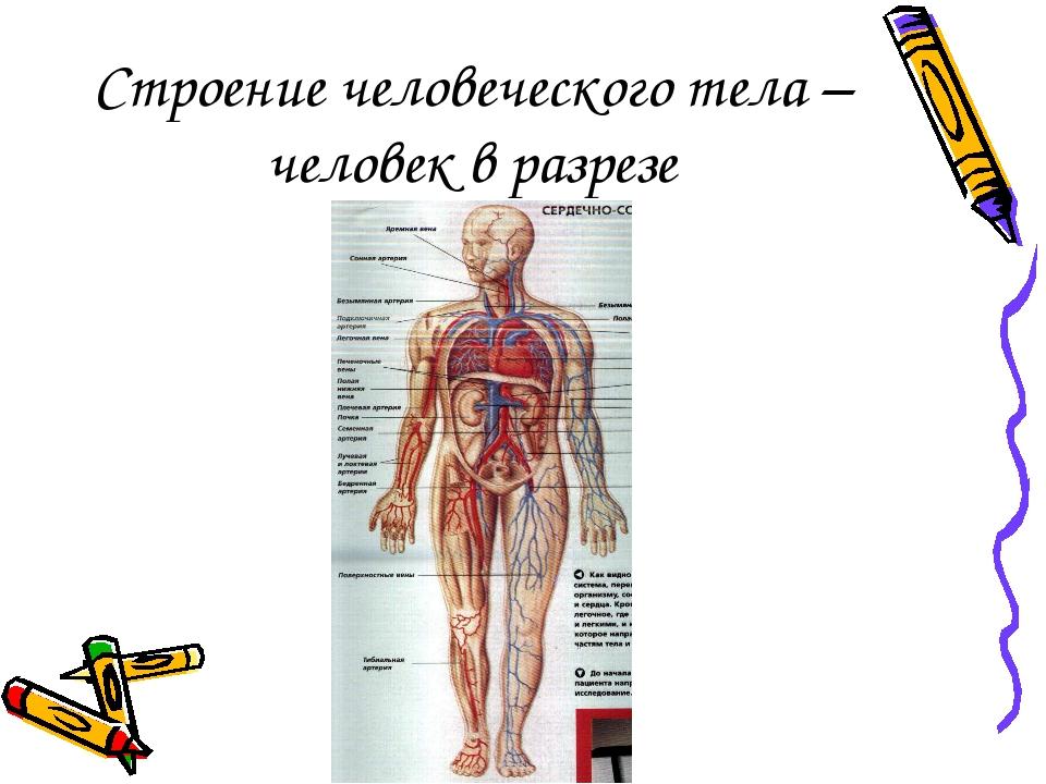Строение человеческого тела – человек в разрезе