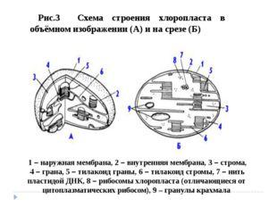 Рис.3 Схема строения хлоропласта в объёмном изображении (А) и на срезе (Б) 1