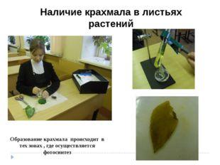 Наличие крахмала в листьях растений Образование крахмала происходит в тех зон