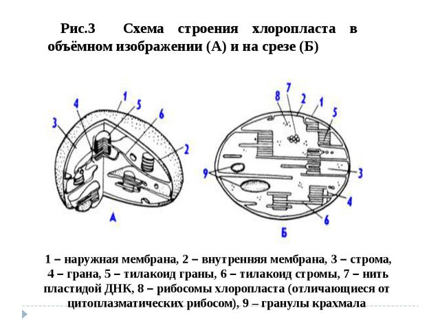 Рис.3 Схема строения хлоропласта в объёмном изображении (А) и на срезе (Б) 1...