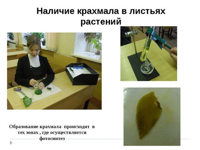 Наличие крахмала в листьях растений Образование крахмала происходит в тех зон...