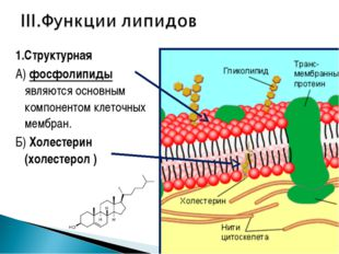 1.Структурная А) фосфолипиды являются основным компонентом клеточных мембран.