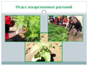 Отдел лекарственных растений