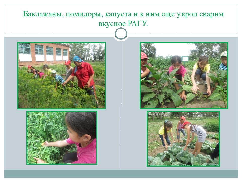 Баклажаны, помидоры, капуста и к ним еще укроп сварим вкусное РАГУ.