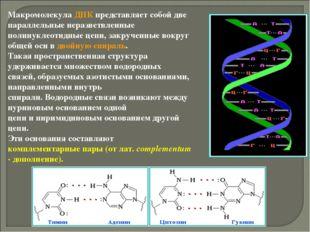 Макромолекула ДНК представляет собой две параллельные неразветвленные полинук