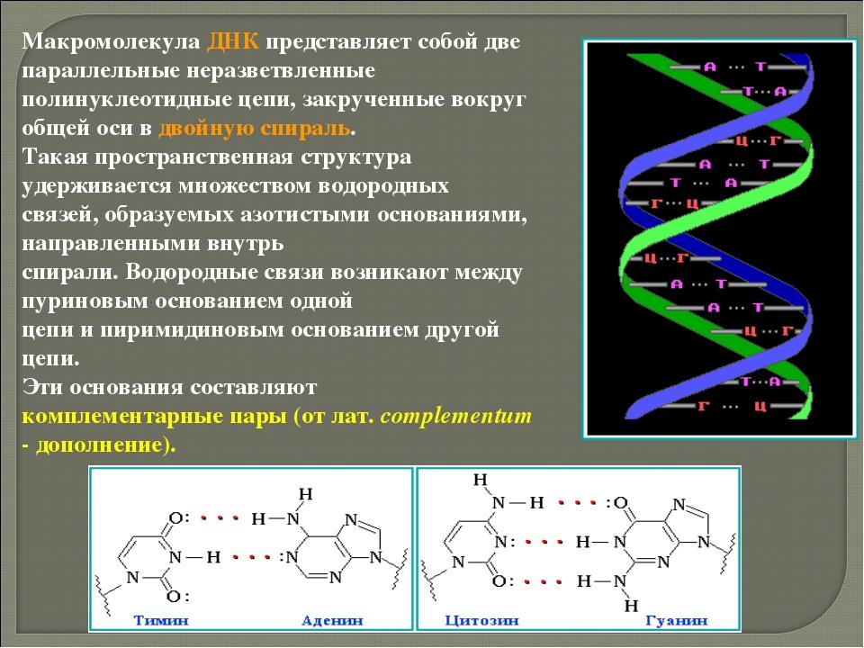 Макромолекула ДНК представляет собой две параллельные неразветвленные полинук...