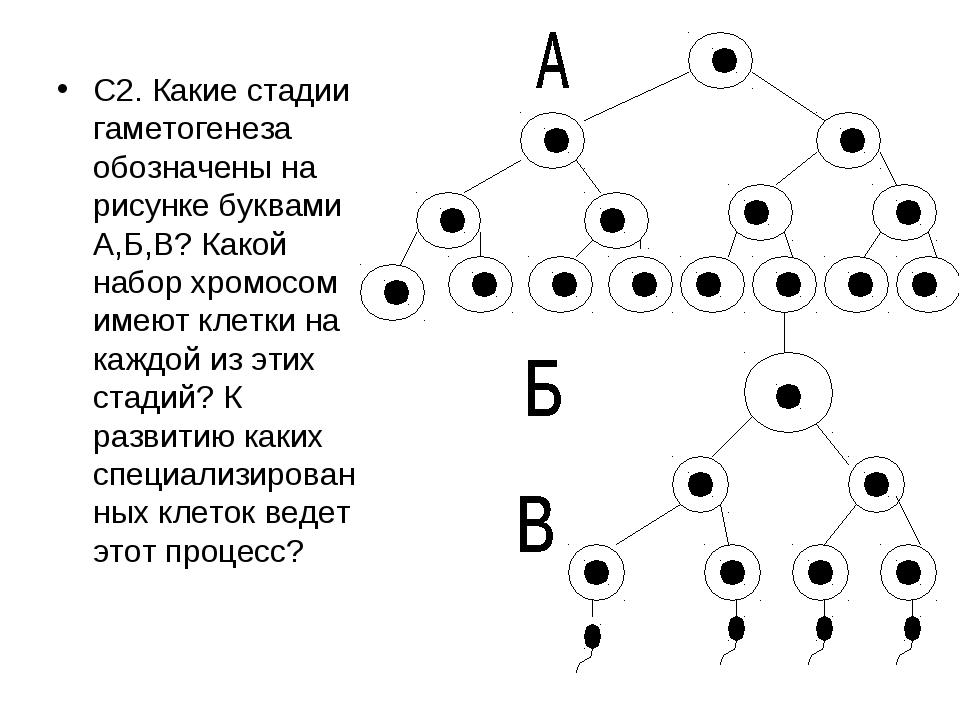С2. Какие стадии гаметогенеза обозначены на рисунке буквами А,Б,В? Какой набо...