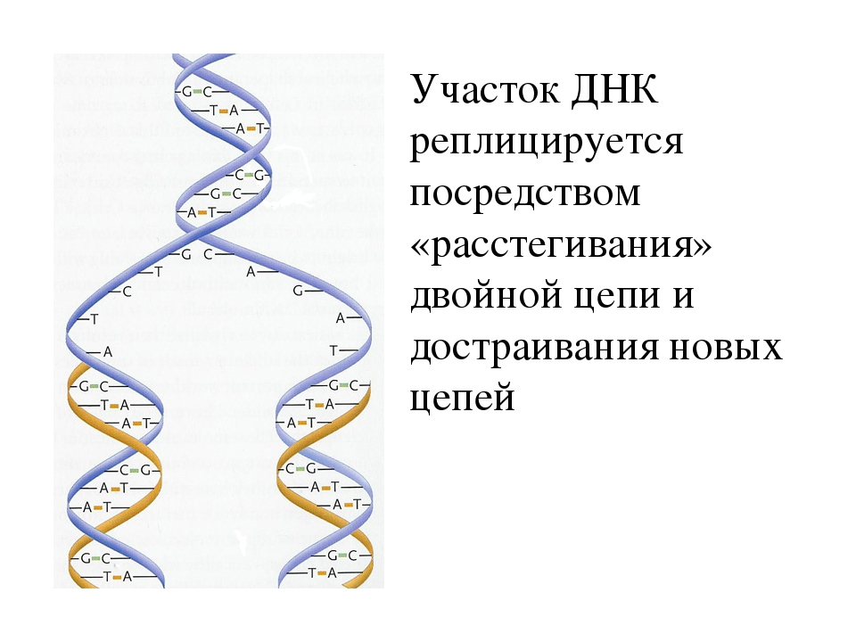 Участок ДНК реплицируется посредством «расстегивания» двойной цепи и достраив...