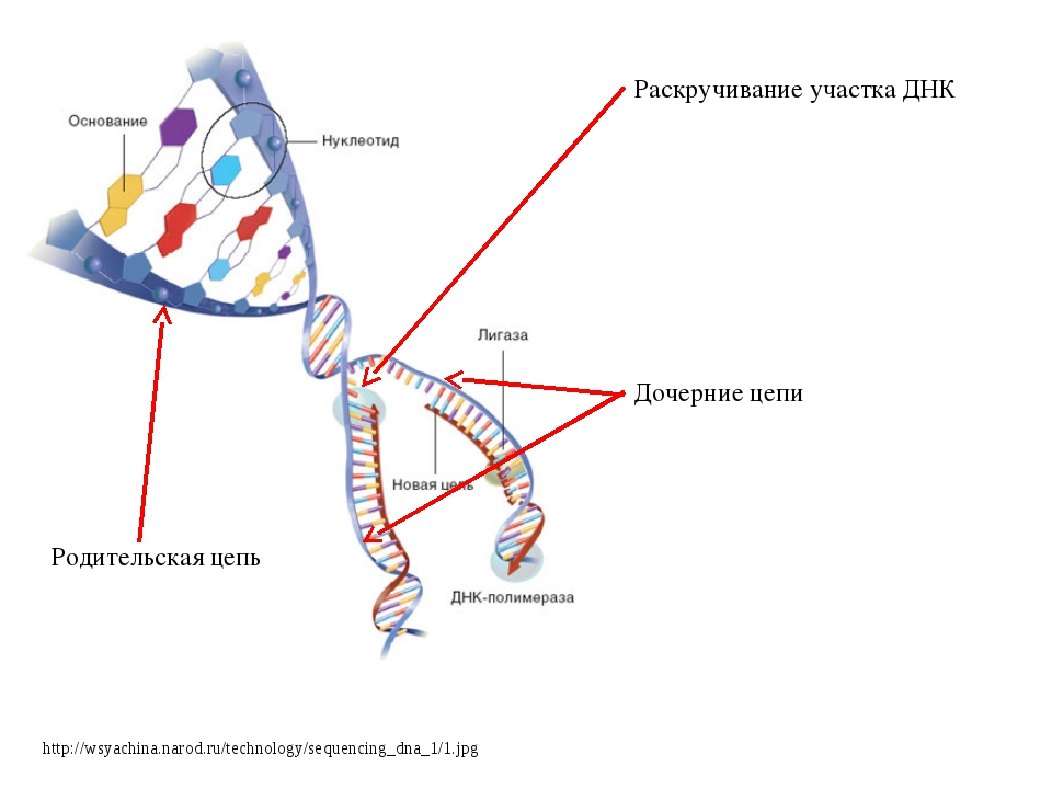 http://wsyachina.narod.ru/technology/sequencing_dna_1/1.jpg Раскручивание уча...