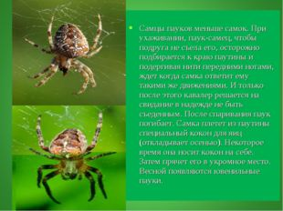Самцы пауков меньше самок. При ухаживании, паук-самец, чтобы подруга не съел