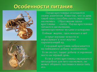 Особенности питания Пауки-крестовики отличаются своим аппетитом. Известно, ч