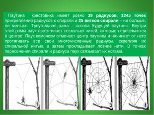 Паутина крестовика имеет ровно 39 радиусов, 1245 точек прикрепления радиусов