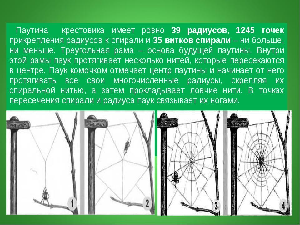 Паутина крестовика имеет ровно 39 радиусов, 1245 точек прикрепления радиусов...