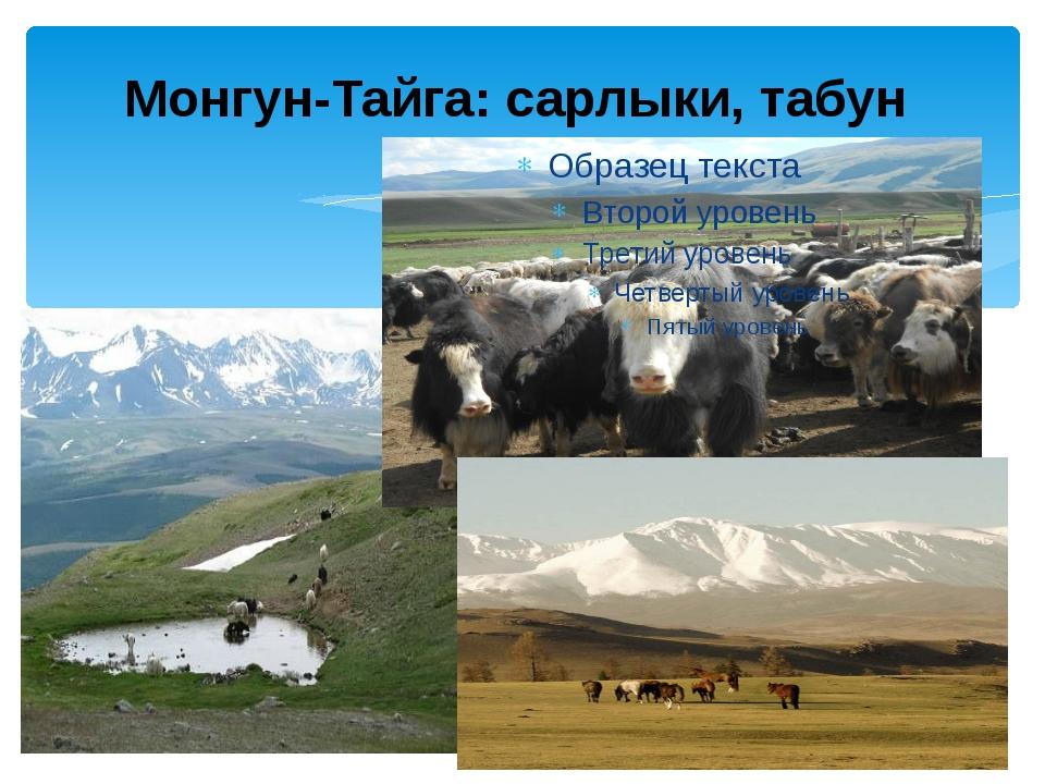 Монгун-Тайга: сарлыки, табун