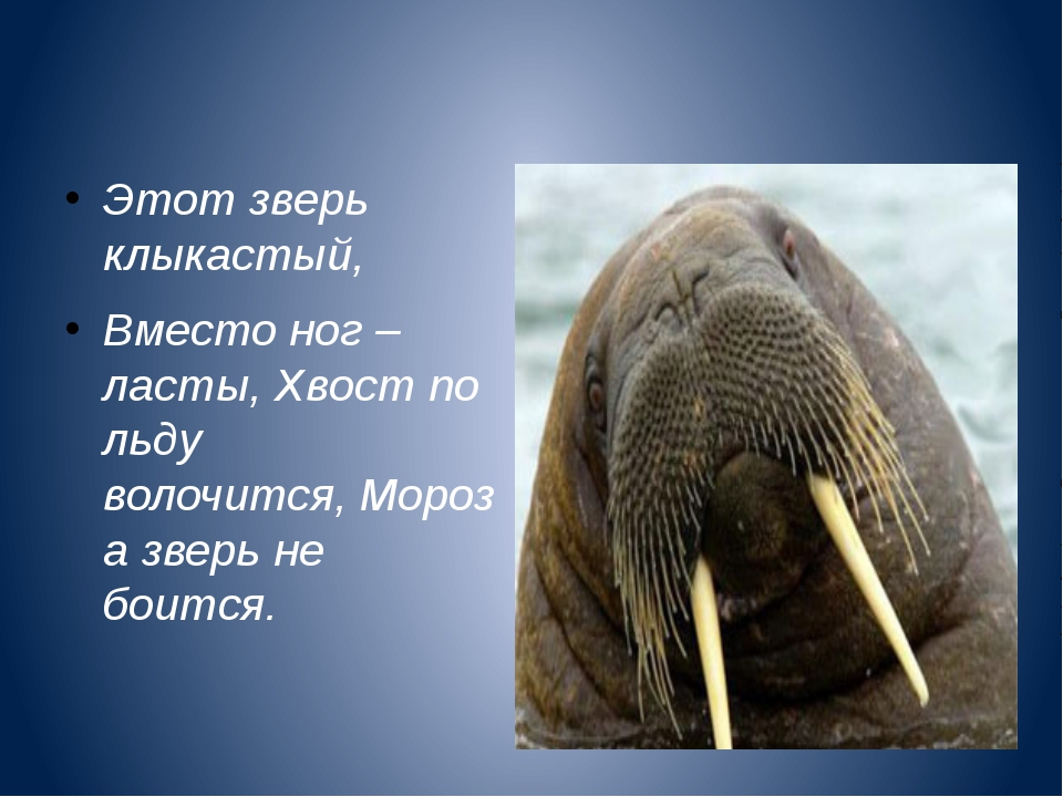 Этот зверь клыкастый, Вместо ног – ласты,Хвост по льду волочится,Мороза з...