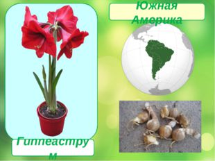 Гиппеаструм Южная Америка