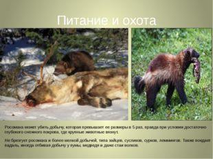 Питание и охота Росомаха может убить добычу, которая превышает ее размеры в 5