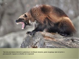 Так как росомаха является довольно злобным зверем, даже медведь при встрече
