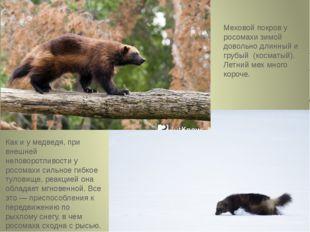 Как и у медведя, при внешней неповоротливости у росомахи сильное гибкое тулов