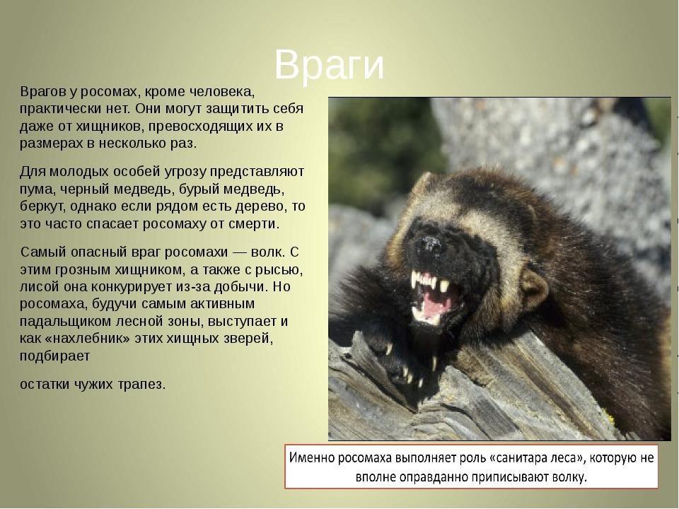 росомаха животное фото и описание онлайн
