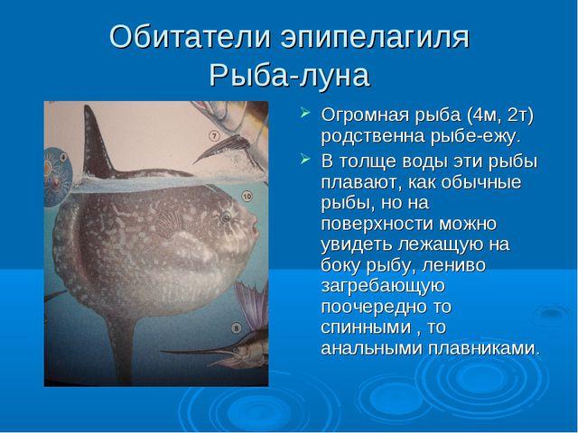 Обитатели эпипелагиля Рыба-луна Огромная рыба (4м, 2т) родственна рыбе-ежу. В...